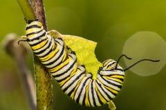 Lagarta da borboleta de monarca que come o milkweed Imagens de Stock Royalty Free