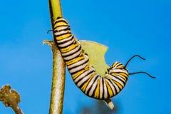 Lagarta da borboleta de monarca que come o milkweed Foto de Stock Royalty Free