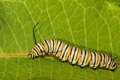 Lagarta da borboleta de monarca que come o milkweed Imagem de Stock
