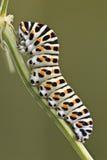 Lagarta da borboleta de Swallowtail Fotografia de Stock
