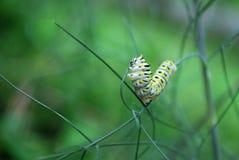 Lagarta da borboleta de Swallowtail fotos de stock