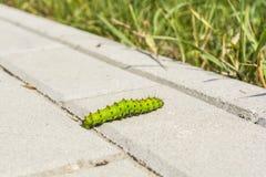 Lagarta da borboleta em pedras de pavimentação Fotografia de Stock