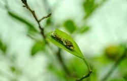 Lagarta da borboleta na árvore de limão, fim acima Imagem de Stock Royalty Free