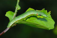 Lagarta da borboleta - ponta alaranjada fotos de stock