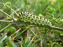 Lagarta de Swallowtail foto de stock