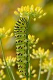 Lagarta de Swallowtail do Velho Mundo imagem de stock