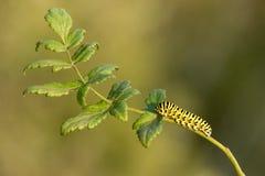 A lagarta do machaon de Papilio na planta verde com verde borrou o fundo Imagem de Stock