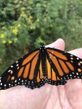 A lagarta do monarca aterrou disponível fotos de stock