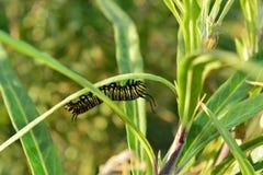 Lagarta do monarca que rasteja através da planta Foto de Stock