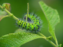 Lagarta do pavonia de Eudia da borboleta. Foto de Stock Royalty Free