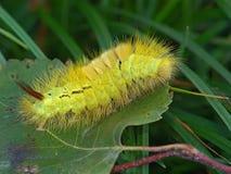 Lagarta do pudibunda de Dasychira da borboleta. imagens de stock royalty free