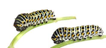 Lagarta do Swallowtail imagem de stock