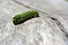 Lagarta do swallowtail do Velho Mundo do machaon de Papilio que rasteja no fundo obscuro cinzento imagens de stock royalty free