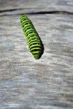 Lagarta do swallowtail do Velho Mundo do machaon de Papilio que rasteja no fundo obscuro cinzento macio fotografia de stock royalty free