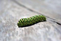 Lagarta do swallowtail do Velho Mundo do machaon de Papilio que rasteja no fundo obscuro cinzento macio fotos de stock royalty free