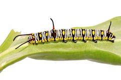 A lagarta lisa do tigre Fotos de Stock