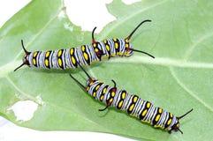 A lagarta lisa do tigre Foto de Stock Royalty Free