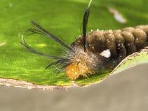 Lagarta não identificada de cabelos compridos da borboleta na folha verde Imagens de Stock Royalty Free