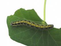 Lagarta peludo amarela, preta e verde - comendo a folha Fotografia de Stock Royalty Free