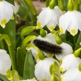 Lagarta peludo preta que rasteja em uma flor no jardim Foto de Stock Royalty Free