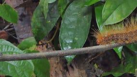 Lagarta peludo vermelha no ramo video estoque