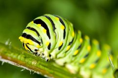 Lagarta preta de Swallowtail Imagens de Stock Royalty Free