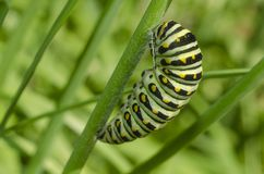 Lagarta preta de Swallowtail Polyxenes de Papilio fotos de stock