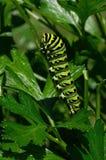 Lagarta preta do swallowtail que alimenta na salsa fotos de stock royalty free