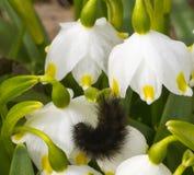 A lagarta preta dobrou-se em um snowdrop no jardim Fotografia de Stock Royalty Free