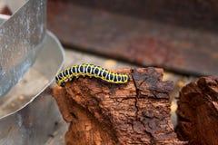 A lagarta preta e amarela bonita rasteja na parte de madeira marrom velha foto de stock