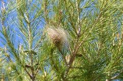 Lagarta processionary do pinho barraca-como o ninho no pinheiro Foto de Stock Royalty Free