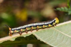 Lagarta transparente de Hawk Moth (hylas Linnaeus de Cephonodes) Imagem de Stock Royalty Free