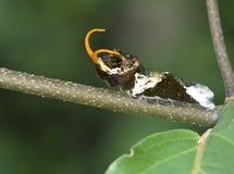 Lagarta tropical do swallowtail imagens de stock royalty free