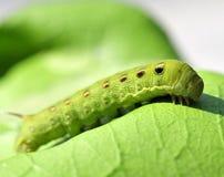 Lagarta verde imagens de stock