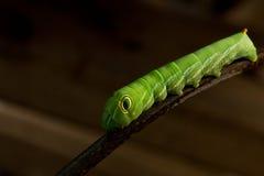 Lagarta verde Imagem de Stock Royalty Free