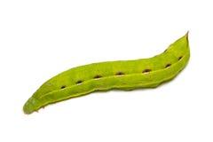Lagarta verde Fotografia de Stock