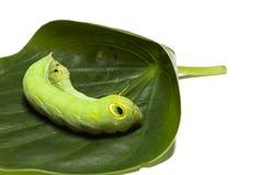 Lagarta verde fotos de stock royalty free