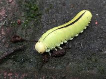 A lagarta verde Imagem de Stock Royalty Free