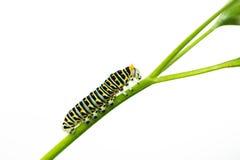 A lagarta verde bonita rasteja em uma folha verde isolada Fotos de Stock