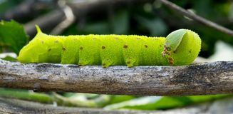 Lagarta verde e marrom em uma vara Foto de Stock Royalty Free