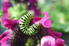 Lagarta verde em um fim cor-de-rosa da flor acima Foto de Stock Royalty Free