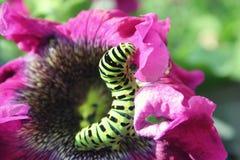 Lagarta verde em um fim cor-de-rosa da flor acima Imagens de Stock