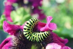 Lagarta verde em um fim cor-de-rosa da flor acima Imagem de Stock Royalty Free