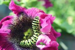 Lagarta verde em um fim cor-de-rosa da flor acima Fotografia de Stock