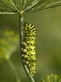 A lagarta verde grande Imagem de Stock