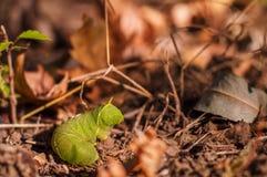 Lagarta verde grande na terra Imagens de Stock Royalty Free