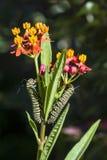 Lagartas da borboleta de monarca Fotos de Stock Royalty Free