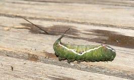 Lagartas da borboleta & x22; Vinula& x22 de Dicranura; Imagens de Stock