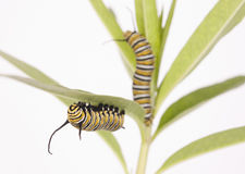 Lagartas do monarca Fotografia de Stock Royalty Free