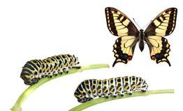 Lagartas do swallowtail imagem de stock